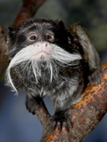 Emperor Tamarin (Saguinus Imperator) in Captivity  Denver Zoo  Denver  Colorado  USA