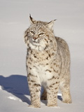 Bobcat (Lynx Rufus) in the Snow in Captivity  Near Bozeman  Montana  USA