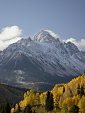 Yellow Aspens and Snow-Covered Mountains  Uncompahgre National Forest  Colorado  USA