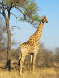 Giraffe (Giraffa Camelopardalis)  Kapama Game Reserve  South Africa  Africa