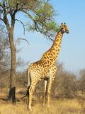 Giraffe (Giraffa Camelopardalis)  Kapama Game Reserve  South Africa  Africa