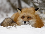 Captive Red Fox (Vulpes Vulpes) in the Snow  Near Bozeman  Montana  USA