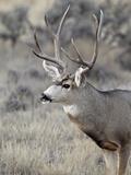 Mule Deer (Odocoileus Hemionus) Buck  Heron Lake State Park  New Mexico  USA