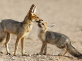 Cape Fox With Cub (Vulpes Chama)  Kgalagadi Transfrontier Park  Northern Cape  South Africa  Africa
