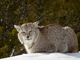 Captive Siberian Lynx (Eurasian Lynx) (Lynx Lynx) in the Snow  Near Bozeman  Montana  USA