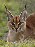 Caracal (Caracal Caracal)  Serengeti National Park  Tanzania  East Africa  Africa