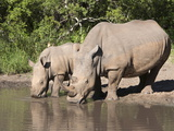 White Rhino (Ceratotherium Simum)  With Calf  Makalali Game Reserve  South Africa  Africa