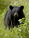 Black Bear (Ursus Americanus)  Alaska Highway  British Columbia  Canada  North America