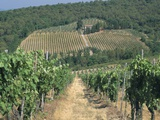 Vineyards  Chianti  Tuscany  Italy  Europe