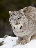 Canadian Lynx (Lynx Canadensis) in the Snow  in Captivity  Near Bozeman  Montana  USA
