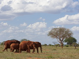 Elephants (Loxodonta Africana)  Tsavo East National Park  Kenya  East Africa  Africa