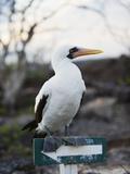 Blue Footed Booby (Sula Nebouxi)  Isla Genovesa  Galapagos Islands  Ecuador