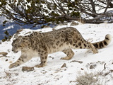 Snow Leopard (Uncia Uncia) in the Snow  in Captivity  Near Bozeman  Montana  USA