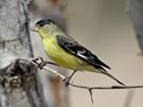 Male Lesser Goldfinch  Patagonia-Sonoita Creek Preserve  Patagonia  Arizona  USA