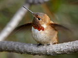Rufous Hummingbird (Selasphorus Rufus)  Near Nanaimo  British Columbia  Canada  North America