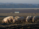 Free Range Pig Farming  Wiltshire  England  United Kingdom  Europe
