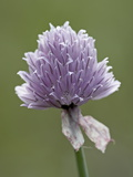 Wild Chives (Allium Schoenoprasum)  Glacier National Park  Montana  USA