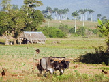 A Farmer Ploughing His Field With Oxen  UNESCO World Heritage Site  Vinales Valley  Cuba