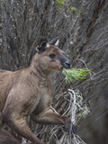 Kangaroo Island Grey Kangaroo (Macropus Fuliginosus)  Lathami Conservation Park  Australia