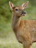 Elk (Cervus Canadensis) Calf  Jasper National Park  Alberta  Canada  North America