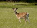 Fallow Deer (Dama Dama) Buck  Sidney Spit  British Columbia  Canada  North America