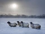 Northumberland Blackface Sheep in Snow  Tarset  Hexham  Northumberland  England  United Kingdom