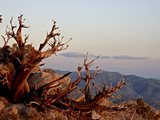 Juniper at Sunset at Keys View  Joshua Tree National Park  California