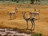Grant's Gazelle (Gazella Granti)  Tsavo East National Park  Kenya  East Africa  Africa