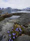 Vernal Bloom  Ammassalik  Greenland  Arctic  Polar Regions