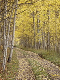 Lane Through Fall Aspens  Ophir Pass  Uncompahgre National Forest  Colorado  USA