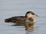 Red-Necked Grebe (Podiceps Grisegena)  Wasilla  Alaska  United States of America  North America