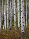Aspen Trunks in the Fall  White River National Forest  Colorado  USA