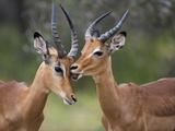 Impala (Aepyceros Melampus)  Males Allogrooming  Kruger National Park  Mpumalanga  South Africa