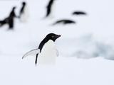 Adelie Penguin (Pygoscelis Adeliae)  Commonwealth Bay  Antarctica  Polar Regions