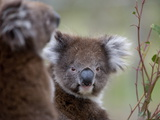Koala (Phascolarctos Cinereus)  in a Eucalyptus Tree  Yanchep National Park  Australia