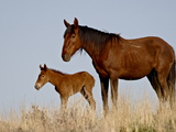 Wild Horse (Equus Caballus) Mare and Foal  Green River  Wyoming  USA