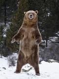 Grizzly Bear (Ursus Arctos Horribilis) Standing in the Snow  Near Bozeman  Montana  USA
