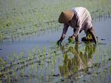 Farmer Planting Rice  Kerobokan  Bali  Indonesia  Southeast Asia  Asia