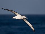 Wandering Albatross (Diomedea Exulans)  Southern Ocean  Antarctic  Polar Regions
