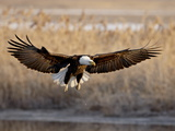 Bald Eagle (Haliaeetus Leucocephalus) in Flight on Final Approach  Farmington Bay  Utah  USA