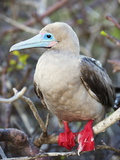 Red Footed Booby (Sula Sula)  Isla Genovesa  Galapagos Islands  UNESCO World Heritage Site  Ecuador