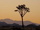 Joshua Tree at Sunset  Joshua Tree National Park  California