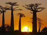 Avenue De Baobabs at Sunset  Madagascar  Africa