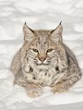 Bobcat (Lynx Rufus) in the Snow  in Captivity  Near Bozeman  Montana  USA