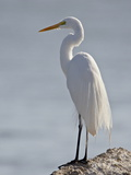 Great Egret in Breeding Plumage  Sonny Bono Salton Sea National Wildlife Refuge  California