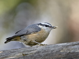 Female Red-Breasted Nuthatch (Sitta Canadensis)  Wasilla  Alaska  USA