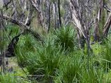 Forest After the Fire  Yanchep National Park  West Australia  Australia  Pacific