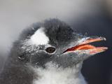 Gentoo Penguin Chick (Pygoscelis Papua Papua)  Port Lockroy  Antarctic Peninsula