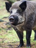 Wild Boar (Sus Scrofa)  Kent  England  United Kingdom  Europe