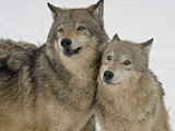 Two Gray Wolves (Canis Lupus) in the Snow in Captivity  Near Bozeman  Montana